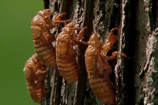 agustos- böceği-değişen-kabuk