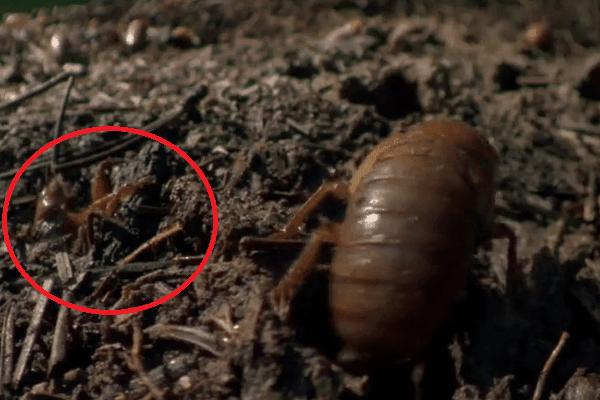 agustos- böceği-yer-yüzüne-çıkış