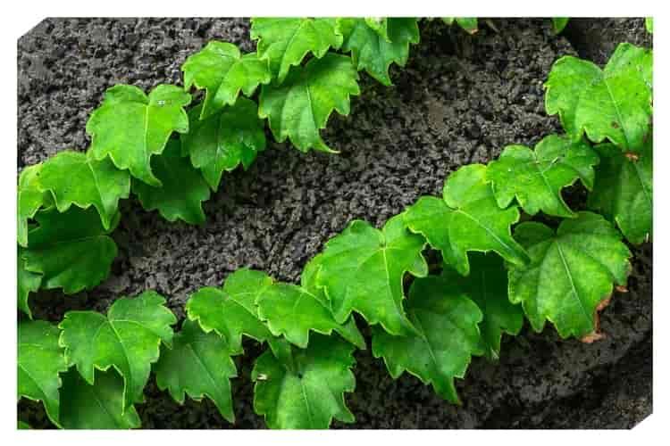 Varis-tedavisi-asma-yaprağı