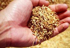 Zayıflamaya yardımcı tohumlar, hangi tohumlar zayıflatır