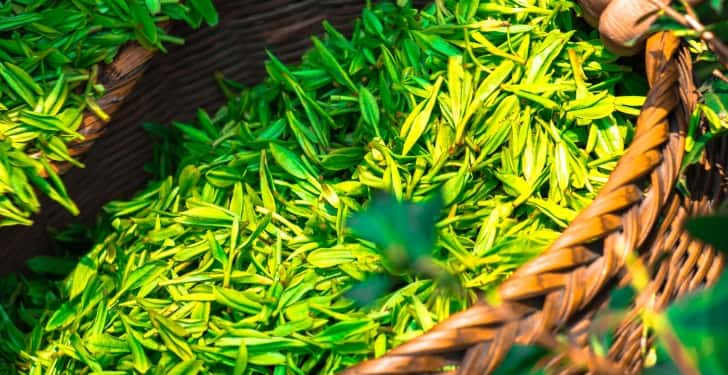 yeşil çay obeziyeti önler