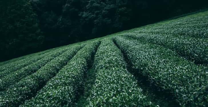 yeşil çay zayıflatır mı