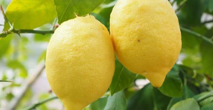 Sivrisinek ısırığına doğal çözüm. Limon